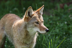Coyote in a field. Coyote in nature during summer Stock Image