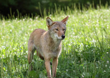 Coyote in a field Royalty Free Stock Photography