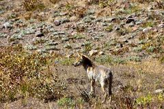 Coyote in a field Yellowstone National Park. royalty free stock photo