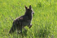 Coyote fonctionnant dans un domaine Image libre de droits