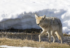 Coyote foraging near river in Yellowstone in winter Royalty Free Stock Photography