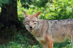 Coyote in forest Stock Image