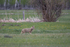 Coyote in the Grand Tetons Royalty Free Stock Images