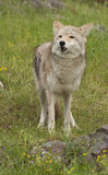 Coyote in grass Stock Images