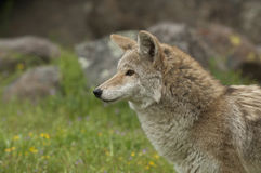 Coyote in grass Stock Photography