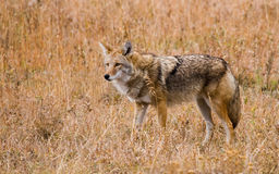 Coyote in Grass Royalty Free Stock Images
