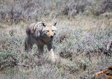 Coyote. A coyote in grass and sagebrush Stock Photography