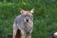 Coyote in the grass-Stock photos. Coyote standing in the grass and looking straight at the camera Royalty Free Stock Photo