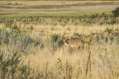 Coyote in grasslands near the Great Salt Lake in Utah Royalty Free Stock Images