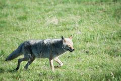 Coyote Grin royalty free stock image