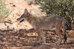 Coyote on guard. Coyotes are always paying attention to what's going on around them Stock Image