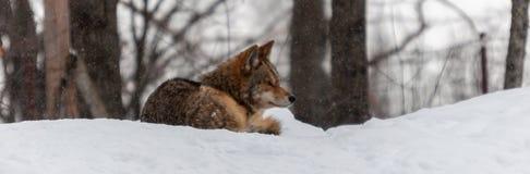 Coyote het ontspannen in de sneeuw Stock Foto
