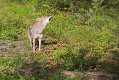 Coyote het uithollen luid in bos royalty-vrije stock afbeeldingen