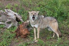 Coyote het uithollen luid in bos royalty-vrije stock fotografie