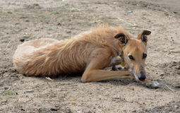 Coyote Hound Relaxing. After a Long Day of Hunting Stock Photography