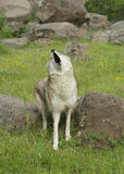 Coyote howling Royalty Free Stock Photo