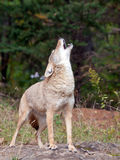 Coyote howling. Close up of coyote standing on rock, howling Royalty Free Stock Images