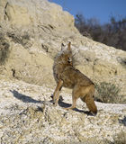 Coyote howling. Howling coyote. Photographed in the Badlands, North Dakota Stock Photography