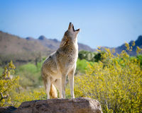 Coyote Howling in American Southwest. Coyote Painting in American Southwest with Yellow and Saguaro royalty free stock photography