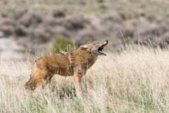 Coyote howling for communication. In fall stock photos