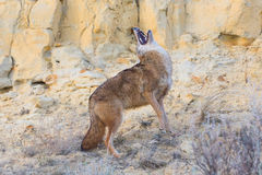 Coyote howling with his head back Royalty Free Stock Photo