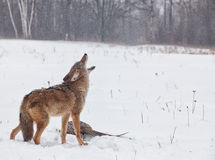 Coyote howling Royalty Free Stock Photos