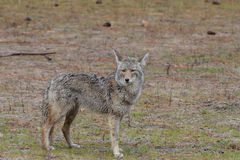 Coyote humide dans le sauvage Photos stock