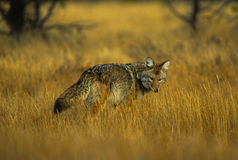 Coyote on the Hunt Royalty Free Stock Photos