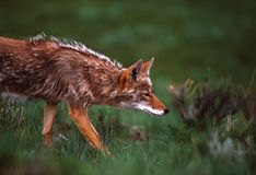Coyote on the Hunt. A coyote carefully stalking prey on a grassland Royalty Free Stock Photo