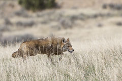 Coyote on hunt Royalty Free Stock Image