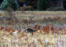 Coyote on the hunt Royalty Free Stock Photo