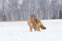 Coyote on a hunt Royalty Free Stock Photo