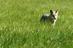 Coyote Hunter Stock Photo