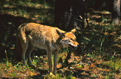 Coyote Hunting Royalty Free Stock Photos