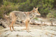 Free Coyote Hunting Stock Photo - 82306900