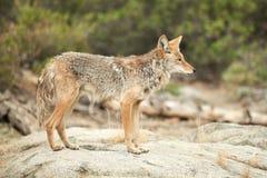 Coyote hunting. Canis latrans, California, Yosemite National Park stock photo