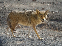 Coyote hunting in the Death Valley. Lone grey coyote Canis Latrans hunting in the Death Valley  National Park, USA Stock Images