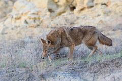 Coyote hunting for food Stock Photo