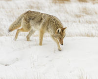 Coyote hunting for mice during winter Stock Photos