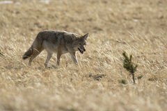 Coyote hunting for next meal in brown grass with small pine tree Royalty Free Stock Photo