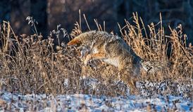Coyote hunting Stock Photography