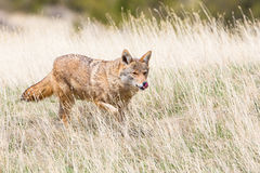 Coyote hunting in Oklahoma plains Royalty Free Stock Image