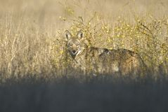 Coyote hunting in the prairie grass Royalty Free Stock Photo