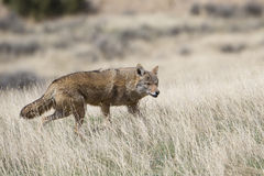 Coyote hunting on the prairie. Coyote in search of food Royalty Free Stock Photo