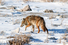 Coyote Hunting. For prey, on the causeway to Antelope Island royalty free stock photo
