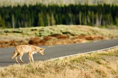 Coyote Hunting from Road Stock Photos