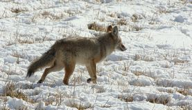 Coyote in the snow Stock Images