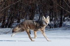 Coyote hunting in the snow. Coyote hunting in snow, California, Tulelake, Lower Klamath National Wildlife Refuge, Taken 01.17 Royalty Free Stock Photography