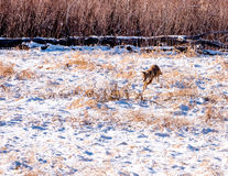 Coyote Hunting. Coyote pouncing on in a field of snow Royalty Free Stock Photos