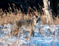 Coyote hunting for voles Royalty Free Stock Image